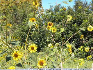 SantaFe_sunflowers
