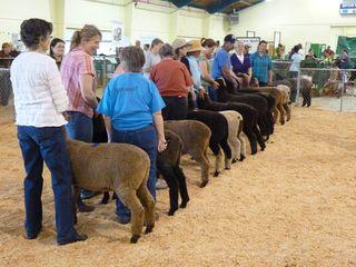 BSG_sheepshow