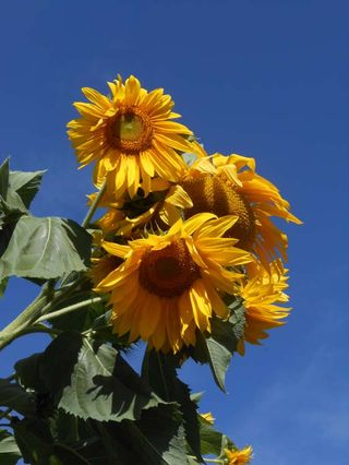 Portland Sunflowers